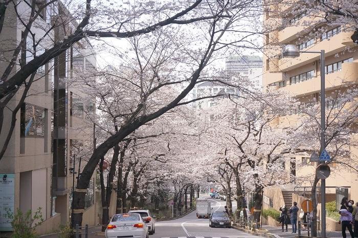 満開の桜をお散歩がてら見物。