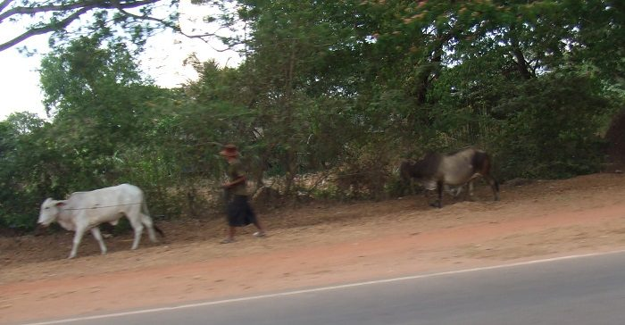 衝撃的なガリガリの牛。食欲がいっきに落ちた瞬間でした。|アンコールワット観光に便利!シェムリアップの女子旅にもおすすめホテル4選+α
