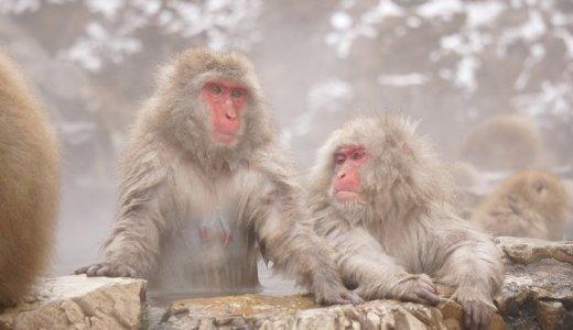 【地獄谷野猿公苑】雪見風呂するニホンザル!滞在中、時間を忘れる癒しの冬