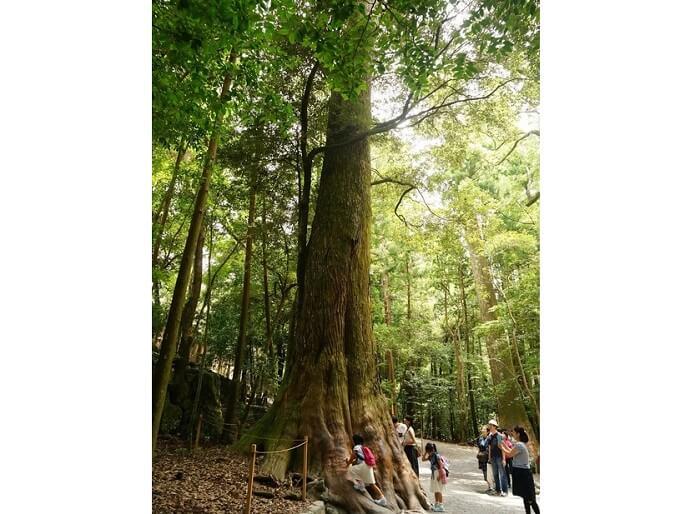 パワーあふれる神宮杉。