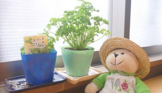 ベランダでスイートバジルとパセリの栽培をはじめました!