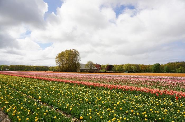 オランダのチューリップにうっとり♡世界最大規模の花の公園<キューケンホフ(Keukenhof)>