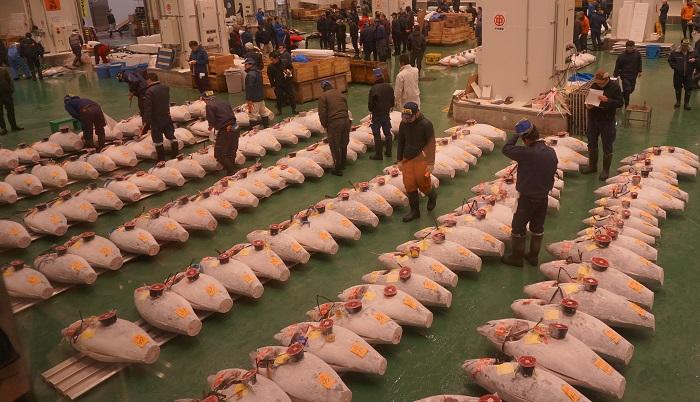 豊洲市場のマグロのせり見学の様子。ずらっと並ぶ冷凍マグロ。
