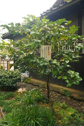 熊本市内のド真ん中にある<小泉八雲熊本旧居>を見学してきた♪| お庭も素敵です。ギリシアのレフカダ町長の記念樹・肥後椿